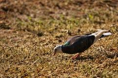 Solo pájaro que encuentra el alimento en hierba en otoño Imagen de archivo