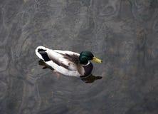 Solo pato que flota en el agua Foto de archivo