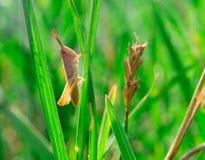 Solo pequeño grasshooper marrón que se sienta en una hierba Imagenes de archivo