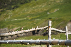 Solo Performance. Perspective View of Sparrow Singing while Perched on Rough, Log Fence Rail Stock Images