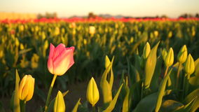 Solo Pink Tulip Bends Opening First Agricultural Flower Farm stock video