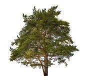Solo pino verde grande aislado en blanco Imagen de archivo libre de regalías