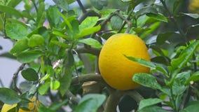 Solo pomelo maduro amarillo del primer como aduana vietnamita almacen de video