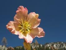 Solo primer de la flor del rosa del hellebore foto de archivo libre de regalías