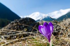 Solo primer hermoso del azafrán en valle del chocholowska Fotografía de archivo