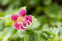 Solo primer púrpura de la flor de la orquídea, fondo natural Imágenes de archivo libres de regalías
