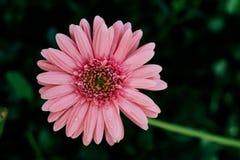 Solo primer rosado de la flor de la margarita, fondo natural Fotografía de archivo libre de regalías