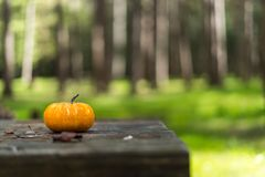 Solo pumpkin on grass in the forest stock photos