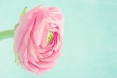 Solo ranúnculo rosado en fondo azul claro Foto de archivo libre de regalías