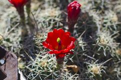 Solo and red flowering cactus. A solo red flowering cactus in the desert summer sun of the utah landscape Stock Photos