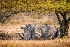 Solo rinoceronte blanco masculino que descansa debajo de un árbol en la Suráfrica fotografía de archivo libre de regalías
