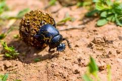 Solo sacer del Scarabaeus del escarabajo sagrado en la tierra fotografía de archivo