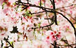 Solo Sakura rosado macro con la abeja en el templo de Tianyuan Imagen de archivo libre de regalías