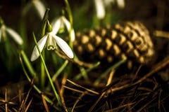 Solo snowdrop Fotografía de archivo libre de regalías