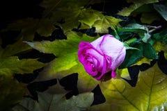 Solo subió en las hojas de otoño Fotos de archivo libres de regalías