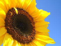Solo sunflower. On the blue sky Royalty Free Stock Photos