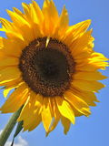 Solo sunflower on blue sky. Solo yellow sunflower on bright blue sky Stock Image