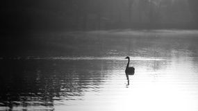 Solo Swan at Dawn Royalty Free Stock Image
