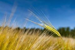 Solo tallo del trigo Foto de archivo libre de regalías
