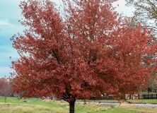 Solo tree of color. Solo tree showing it`s finest fall foliage when the other trees where still green stock image