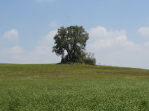 Solo  tree. Solo green tree in a green landscape nature Royalty Free Stock Photos