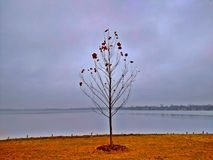 Tree - ality. A solo tree resides alone next to Walled Lake in Michigan. Just a couple leafs left to fall before winter takes over Royalty Free Stock Images