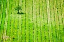 Vineyard in Radda in Chianti, Tuscany, Italy. Solo tree in vineyard in Radda in Chianti, Tuscany, Italy royalty free stock image