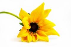 Solo tronco con fulgida amarillo y negro smal del Rudbeckia de la flor en un fondo blanco imágenes de archivo libres de regalías