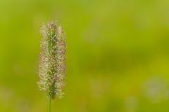 Solo tronco de la semilla de la hierba Imagen de archivo