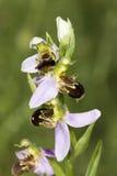 Solo tronco de las orquídeas de abeja, apifera del Ophrys Foto de archivo