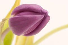 Solo tulipán Fotos de archivo
