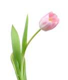 Solo tulipán Imagen de archivo