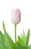Solo tulipán Imágenes de archivo libres de regalías