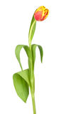 Solo tulipán Fotografía de archivo libre de regalías