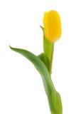 Solo tulipán amarillo Fotografía de archivo