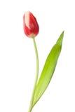 Solo tulipán cerrado rojo-blanco foto de archivo libre de regalías