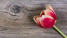 Solo tulipán en la madera subrayada Fotos de archivo libres de regalías
