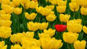 Solo tulipán rojo en el campo del amarillo Foto de archivo libre de regalías
