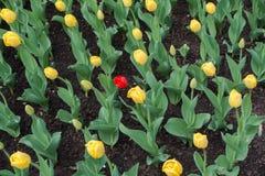 Solo tulipán rojo entre amarillo unos imagen de archivo