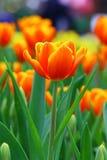 Solo tulipán vibrante Imagen de archivo libre de regalías