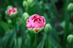 Solo tulipán rosado en un macizo de flores verde Imagen de archivo libre de regalías