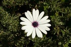 Solo- weiße Blume Stockfoto