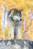 Solo wolf royalty free stock photography