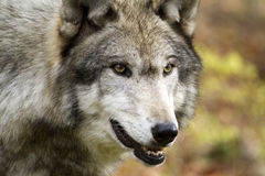 Solo Wolf staring intently Royalty Free Stock Images