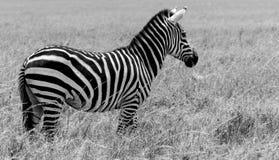 Solo zebra gapi się daleko w odległość Obrazy Stock