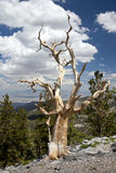 SoloBristle Cone Pine Tree at the top of the ridge. A Bristle Cone Pine Tree on a mountain side rock out cropping at the top of a ridge Royalty Free Stock Photos