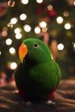 Soloman Island Eclectus Parrot Stock Photo