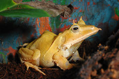 solomon листьев острова лягушки Стоковая Фотография