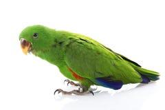 solomon de perroquet d'île d'eclectus Photographie stock libre de droits
