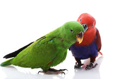 Solomon Island Eclectus Parrots. A pair of Solomon Island Eclectus Parrots ( Eclectus roratus solomonensis) on white background Stock Photo